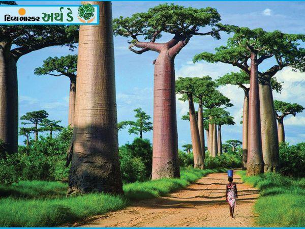 हिंद महासागर में उत्तरी अफ्रीका से 400 किमी दूर मेडागास्कर में यह बाओबाब पेड़ हमें ऐसा महसूस कराता है जैसे हम किसी दूसरे ग्रह पर हैं।  पेड़ 2800 साल पुराना है जिसकी ऊंचाई 30 मीटर तक है।  मेडागास्कर में ये पेड़ उष्णकटिबंधीय जंगलों का प्रतीक हैं।