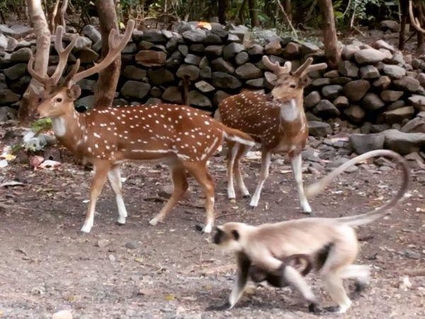 હરણ જેવા પ્રાણી બાવળના ફડિયા, વાનર આંબળા ખાવાનું પસંદ કરે છે. - Divya Bhaskar