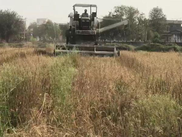 દોઢ વિઘા જમીનમાં 45 મણ જેટલા ઘઉં થયા અને ખર્ચો કાઢતા દોઢ વિઘામાં 51 હજાર રૂપિયાની આવક થઈ.