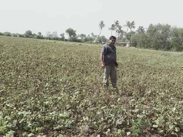 धानेज गांव के किसान हरेश कांबलिया ने खेत का निरीक्षण किया.