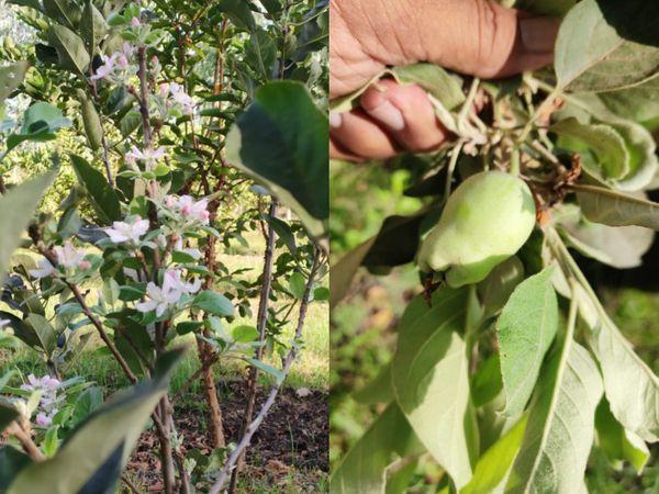 હરમન-99 પ્રકારની આ વરાઇટીનાં સફરજન રંગે પીળાં-ગુલાબી અને ખટ-મધુરાં હોય છે.