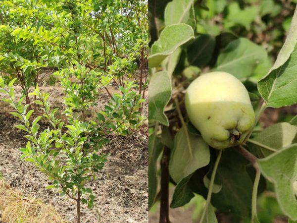 હવે 2022માં આ છોડવા પરિપક્વ થઈ જતાં ફળોનો પાક લઈ શકાશે.