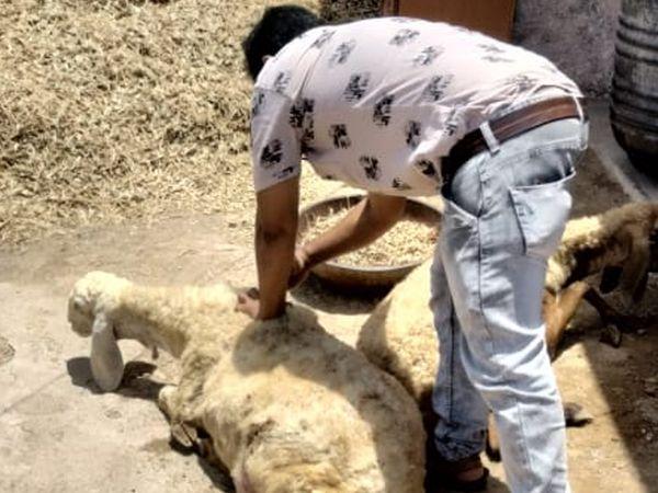અન્ય ઘેટાઓની ચકાસણી કરવામાં આવી હતી