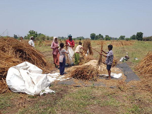 નસવાડીના ખેડૂતો તલનો પાક હજુ ખેખેરી કાઠી રહ્યા છે. - Divya Bhaskar
