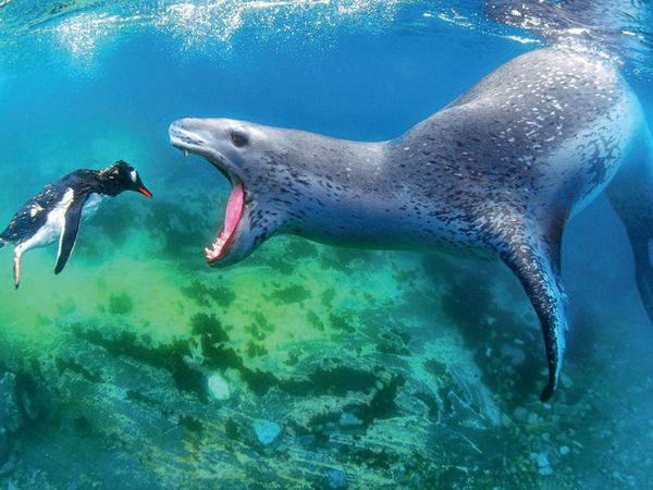 અન્ડરવોટર કેટેગરીમાં ફાઇનલિસ્ટ રહેલી આ તસવીર એન્ટાર્કટિકાની છે. એ અમોસ નાચૌમે લીધી છે. તેઓ જણાવે છે કે લેપર્ડ સીલ માછલીઓ, ઓક્ટોપસ, કરચલાં અને પેંગ્વિન બધું જ ખાય છે. હું માત્ર પ્રાર્થના કરી રહ્યો હતો.