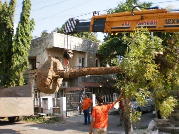 મોટા વૃક્ષોને કાપી નાખીને તેનું રિ ટ્રાન્સપ્લાન્ટેશન ઓછું થઈ રહ્યું છે.