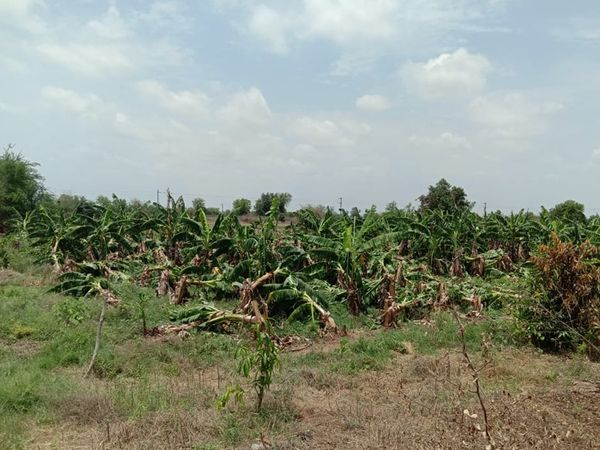 કેળાના પાકને વ્યાપક નુકશાન થયું હતું. - Divya Bhaskar