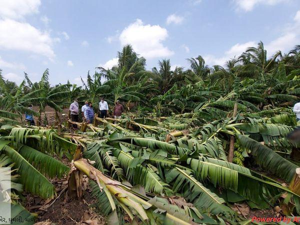 નાળીયેરી અને કેળના વૃક્ષો જમીનદોસ્ત થયાની તસ્વીર
