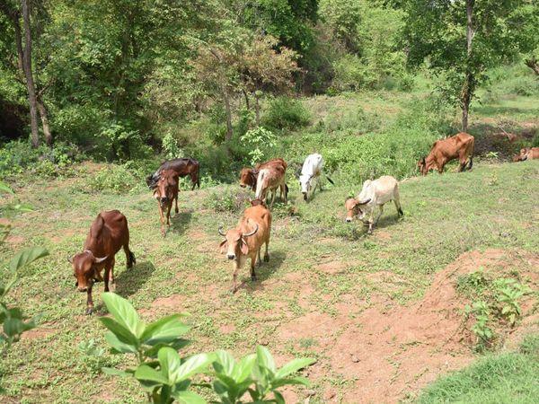 નંદનવન ગીર ગૌ-શાળા'માં 18 જેટલા નાના-મોટા ગૌવંશ થકી ગાય આધારિત ખેતી કરી રહ્યા છે.