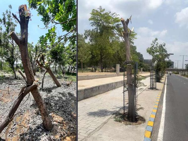 રિવરફ્રન્ટના રોડ પાસેના નમી ગયેલા વૃક્ષોને ફરી ઊભા કરાયા - Divya Bhaskar