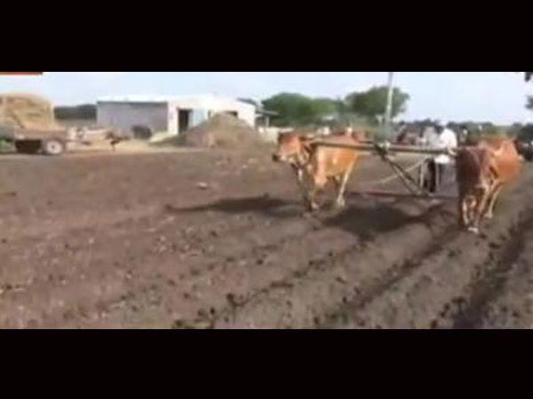ખેડૂતો બળદ અને કોસ જોડી ખેતીમાં જોતરાયા. - Divya Bhaskar