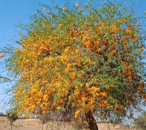 रोहिडे के पेड पर आम दिनों से ज्यादा फूल आ रहे हैं।