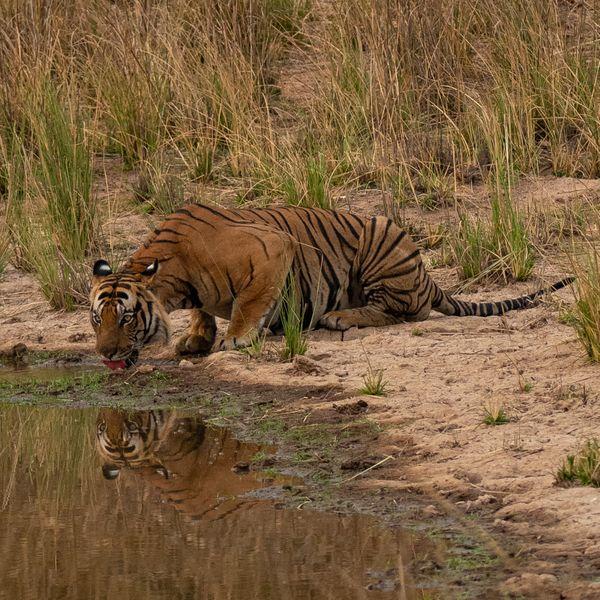 बांधवगढ़ नेशनल पार्क में पानी पीता बाघ। फोटोः पराग कुलकर्णी