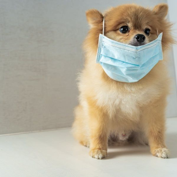 अप्रैल 2020 में हांगकांग के इस पामेरियन कुत्ते को भी कोरोना वायरस इंफेक्शन हुआ था। इसे बाद में क्वारैंटाइन भी किया गया। इस केस ने दुनियाभर को चिंता में डाल दिया था कि हमारे पालतू भी इंफेक्ट हो सकते हैं।