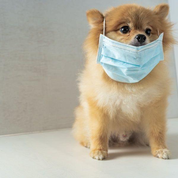 एप्रिल 2020 मध्ये हाँगकाँगच्या या पामेरियन कुत्र्यालाही कोरोना विषाणूची लागण झाली. नंतर त्याला क्वारंटाइन करण्यात आले. या प्रकरणानंतर पाळीव प्राण्यांनादेखील संसर्ग होऊ शकतो, याची चिंता जगाला लागली.