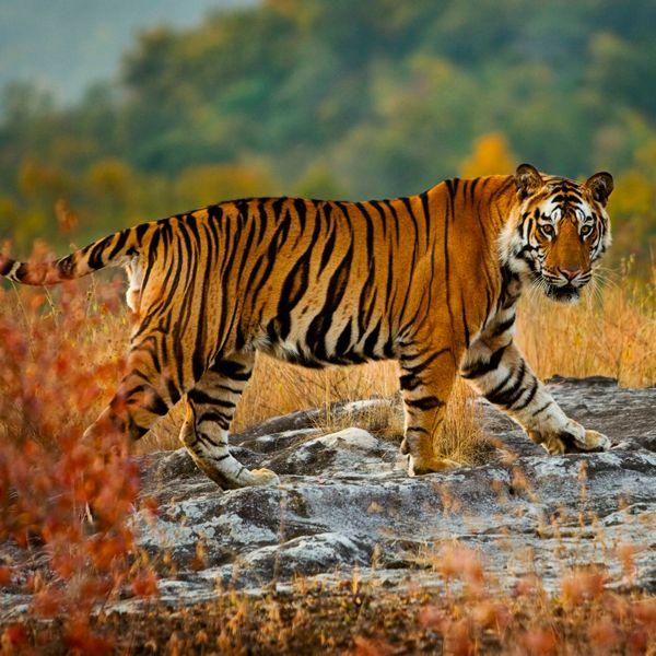 રોયલ બંગાલ ટાઈગર વધુ સ્ફુર્તિલું અને શક્તિશાળી છે. ભારતમાં વાઘની આજ જેટલી પ્રજાતિઓ જોવા મળે છે.