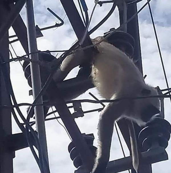 कंसुआ इलाके में सुबह बिजली के तार की चपेट में आने से लंगूर की मौत हो गई थी।
