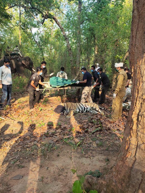 27 मई को बाघ को ट्रैंकुलाइज कर मुंकुंदपुर सफारी भेजा गया।
