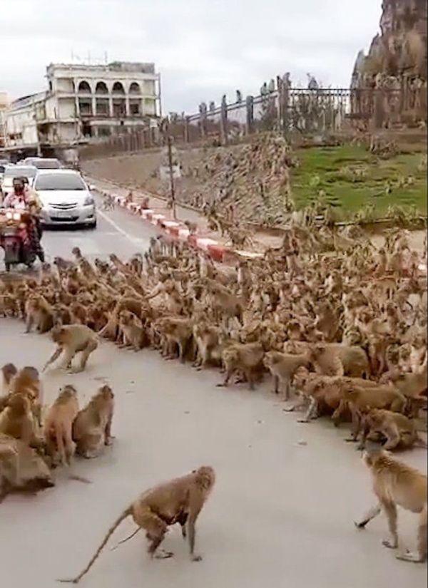100 से ज्यादा बंदरों के दो गुट सड़क पर एक-दूसरे पर झपट रहे थे।