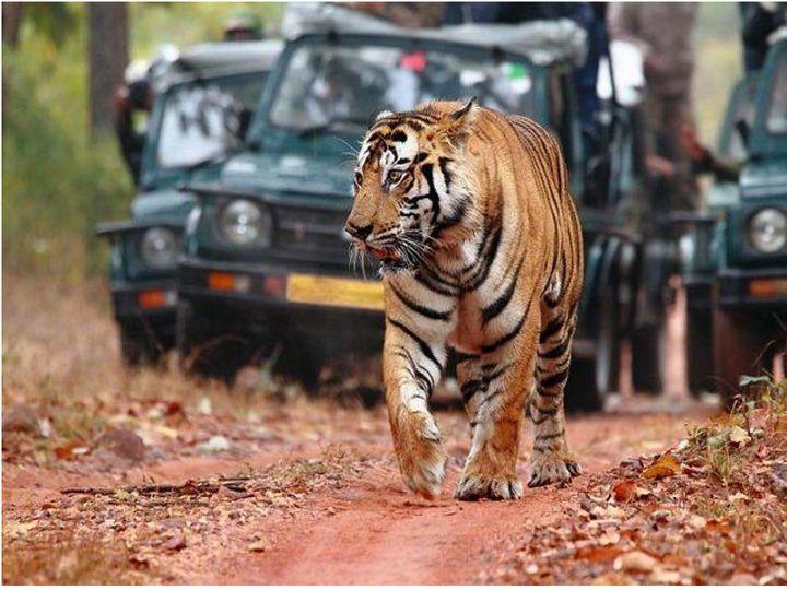 भोपाल। पर्यटन वाहनों को प्रवेश देने के मामले में नेशनल टाइगर कंजर्वेशन अथॉरिटी (एनटीसीए) ने आपत्ति ली है। - Dainik Bhaskar