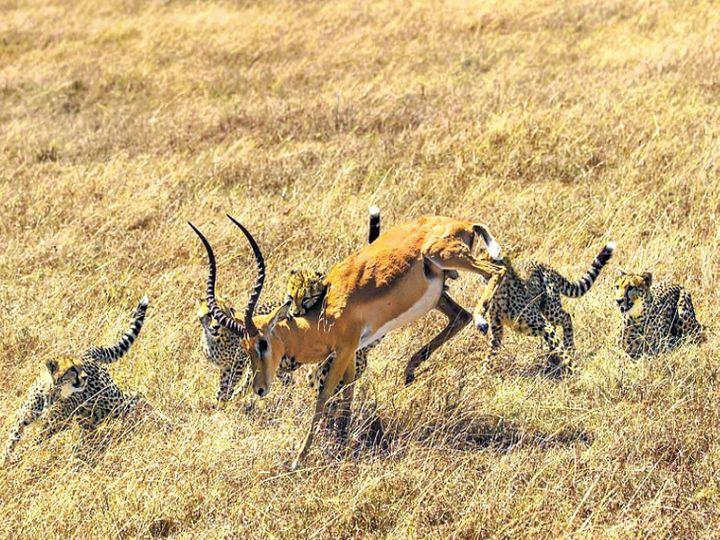 चीते अधिकतम 120 किलोमीटर प्रति घंटे की रफ्तार पकड़ सकते हैं, जबकि इम्पाला 85 किलोमीटर प्रति घंटा की। - Dainik Bhaskar