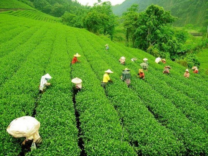 भारतीय चाय संघ ने वाणिज्य मंत्रालय और दोनों प्रदेशों की राज्य सरकारों से चाय उत्पादकों के लिए आर्थिक राहत पैकेज की मांग की है - Dainik Bhaskar