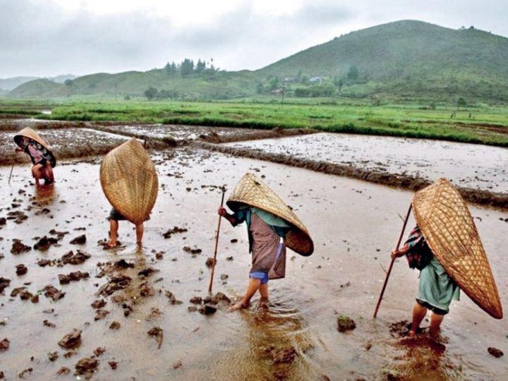 बारिश से बचने के लिए बांस की तिकोनी टोपी से खुद को ढककर खेतों में काम करते मासिनराम के किसान। - Dainik Bhaskar