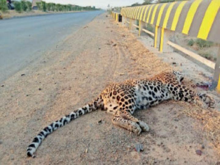 ब्यावर-पिंडवाड़ा फोरलेन पर वाहन की टक्कर से पैंथर की हुई मौत। - Dainik Bhaskar
