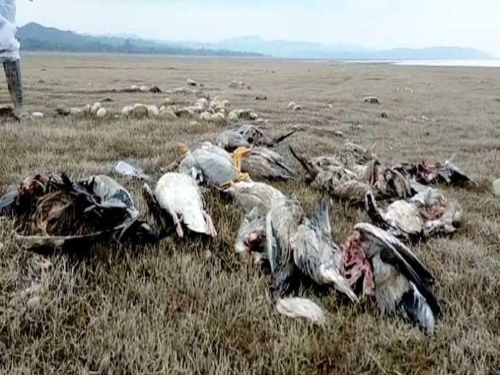 कांगड़ा जिले में स्थित पौंग बांध की झील के किनारे मृत पड़े प्रवासी परिंदे। पशुपालन विभाग की तरफ सेमर चुके परिंदों को तलाशकर दफनाने के लिए 18 रेपिड टीमें बनाई हैं। -फाइल फोटो - Dainik Bhaskar