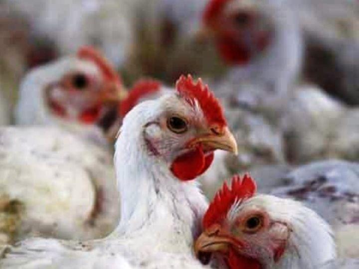 पोल्ट्री फार्म चलाने वाले सभी व्यापारियों को भी मुर्गियों के मरने पर सूचना देने को कहा है। - Dainik Bhaskar