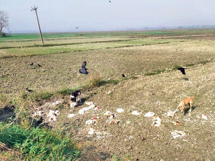 सरैया में खेत में फेंकी गई मुर्गियाें को खाते कुत्ते व कौए। - Dainik Bhaskar