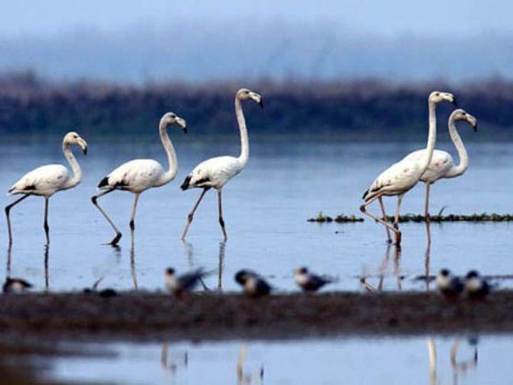 हरिके बर्ड सैंक्चुरी में अभी तक बर्ड फ्लू का कोई मामला सामने नहीं आया है, फिर भी मरे पक्षियों को जांच के लिए भेजा गया है। - Dainik Bhaskar