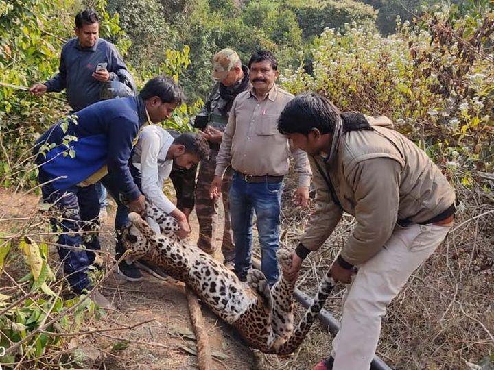 वनकर्मियों ने तेंदुआ के शव को पोस्टमॉर्टम के लिए भिजवा दिया है। - Dainik Bhaskar