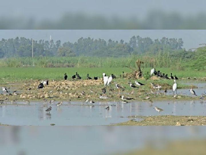 खूबसूरत नजारा: भंभेवा गांव के खेतों में पहुंचे प्रवासी पक्षी - Dainik Bhaskar