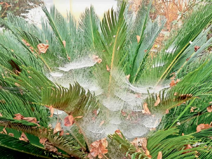 पौधों पर जमा कोहरा - Dainik Bhaskar