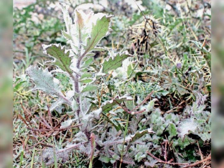कैथल | बुधवार दिनभर रही धुंध के कारण पौधों पर जमा पाला। - Dainik Bhaskar