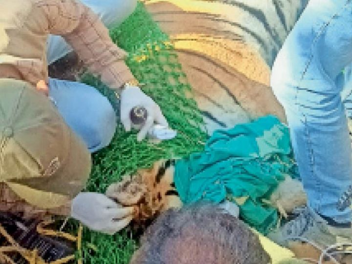 रहटगांव। बाघ के सिर पर लगी चोट में मरहम लगाता वनकर्मी। - Dainik Bhaskar