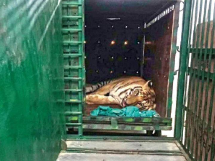 बाघ को बुधवार को रेस्क्यू कर वन विहार लाया गया। उसकी हालत बहुत नाजुक है। - Dainik Bhaskar