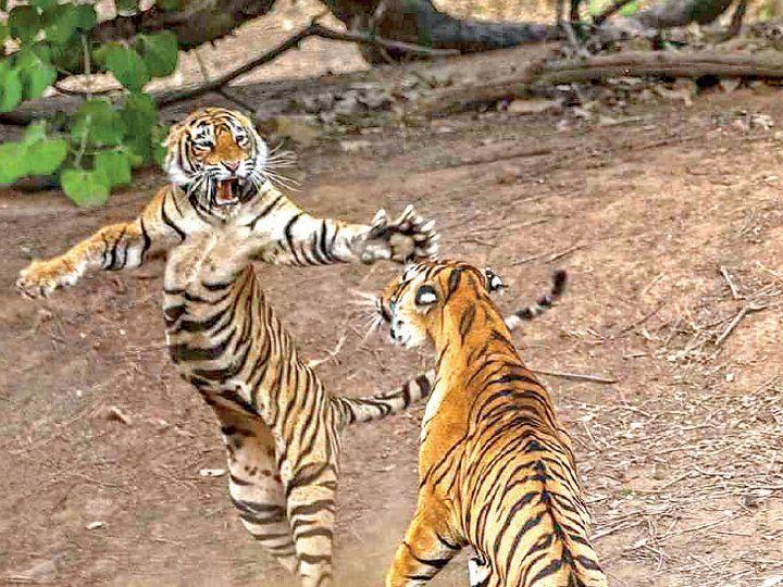 एक बाघ की टेरिटरी 50 से 60 वर्ग किमी में रहती है। इसमें एक बाघ के साथ दो बाघिन रह सकती हैं। - फाइल फोटो - Dainik Bhaskar