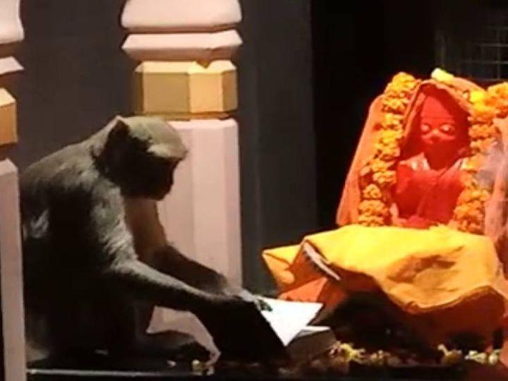 यह फोटो प्रतापगढ़ की है। हनुमान मंदिर में प्रतिमा के समक्ष बैठा बंदर। - Dainik Bhaskar
