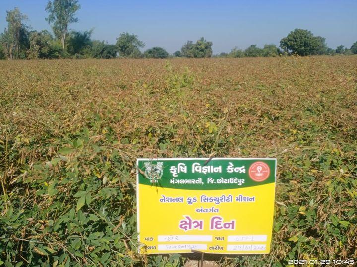 કૃષિ વિજ્ઞાન કેન્દ્ર, મંગલભારતી દ્વારા ખેડૂતો માટે તુવેરની જાત GJP-1નું અગ્ર હરોળ નિદર્શન યોજાયું. - Divya Bhaskar