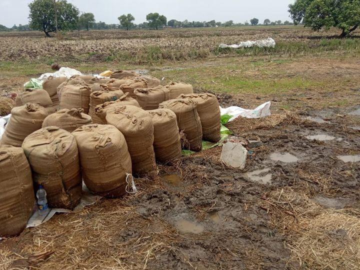 શુક્રવારની રાત્રે અચાનક ધમાકેદાર વરસાદ પડતા ખેડૂતોનો ખરાંમાં પડેલો તૈયાર ડાંગરનો પાક પલડી ગયેલો નજરે પડે છે. - Divya Bhaskar