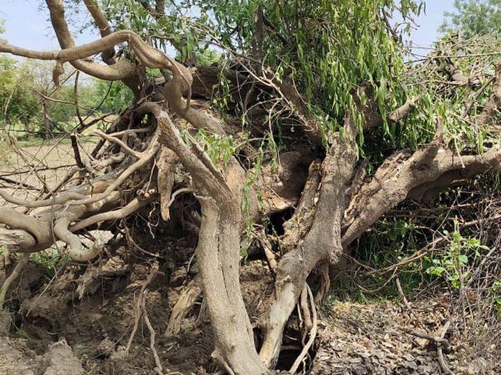 ખેડામાં રમેશભાઈ વાઘેલાના ખેતરની હદમાથી મોટા ભાગના વૃક્ષો જેસીબી મશીનથી કોન્ટ્રાક્ટ દ્વારા જમીન દોષ કરી દેવામાં આવ્યા છે. - Divya Bhaskar