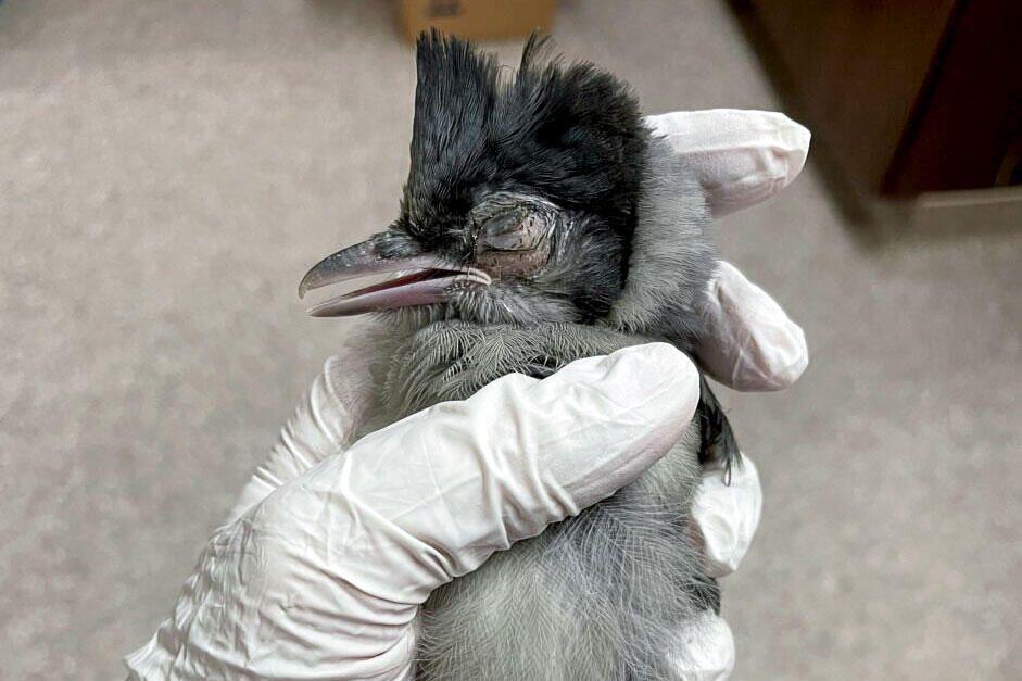 पक्षी विज्ञानी मरने वाली चिड़ियों की जांच करके बीमारी का पता लगाने में जुटे हैं।