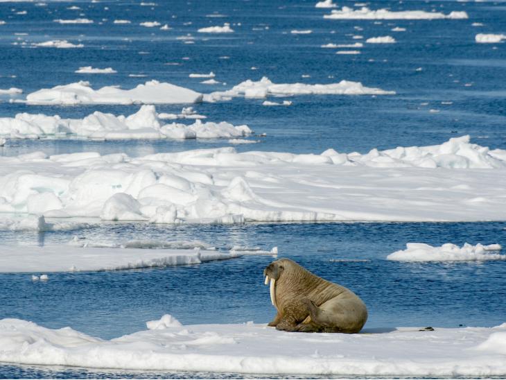 जलवायु परिवर्तन के चलते पिघल रही आर्कटिक की बर्फ, शहर में घुस रहे ध्रुवीय भालू  - Dainik Bhaskar