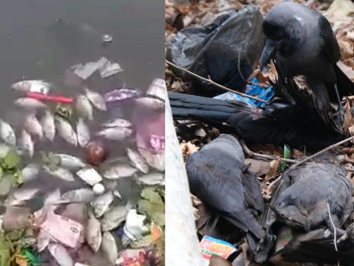 झील में मरी मछलियां तो किनारे पर मृत मिले कौवे। - Dainik Bhaskar