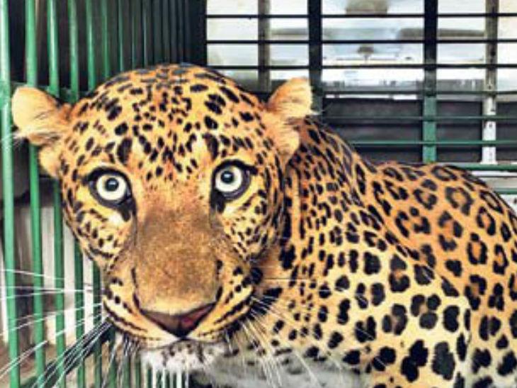 जयपुर शहर में बुधवार आए तेंदुए को 21 घंटे बाद पकड़ा जा सका था। - Dainik Bhaskar