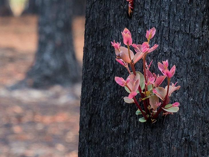 ऑस्ट्रेलिया में आग से 63000 वर्ग किमी इलाका खाक, लेकिन राख और जले पेड़ पर नया जीवन शुरू|देश,National - Dainik Bhaskar