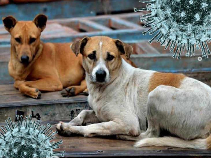 चमगादड़ से कुत्ते में और कुत्ते से इंसान में पहुंचा होगा कोरोना: कनाडाई वैज्ञानिक की रिपोर्ट पर भड़के दूसरे वैज्ञानिक|लाइफ & साइंस,Happy Life - Dainik Bhaskar
