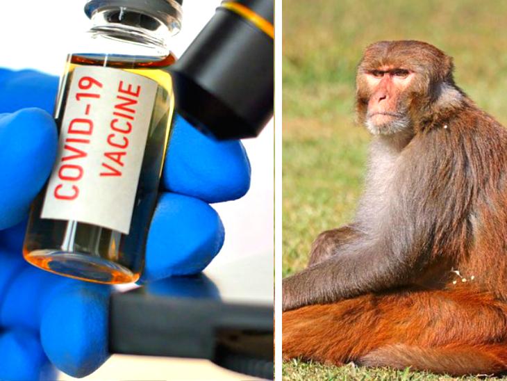 ऑक्सफोर्ड यूनिवर्सिटी में चिंपांजी के कोल्ड वायरस का बंदरों पर ट्रायल सफल, दावा- सितंबर तक 10 लाख डोज तैयार होंगे लाइफ & साइंस,Happy Life - Dainik Bhaskar